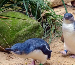 Phillip-Island-penguin-parade