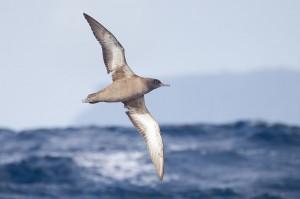 Puffinus_griseus_in_flight-Phillip-Island